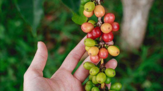 fresh coffee beans growing